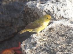 Santiago Isl. Sullivan Bay. Yellow warbler (Setophaga petechia aureola)