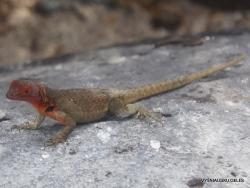 Espanola Isl. Española lava lizard (Microlophus delanonis) (2)