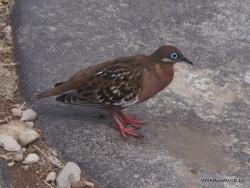 Espanola Isl. Galápagos dove (Zenaida galapagoensis) (2)