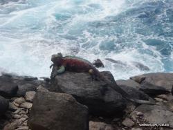 Espanola Isl. Galápagos marine iguana (Amblyrhynchus cristatus venustissimus) (15)