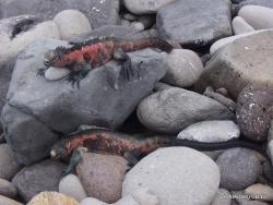 Espanola Isl. Galápagos marine iguana (Amblyrhynchus cristatus venustissimus) (16)