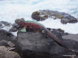 Espanola Isl. Galápagos marine iguana (Amblyrhynchus cristatus venustissimus) (18)