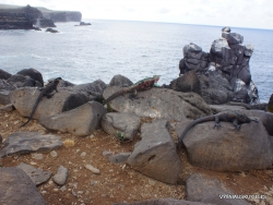 Espanola Isl. Galápagos marine iguana (Amblyrhynchus cristatus venustissimus) (20)