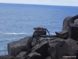 Espanola Isl. Galápagos marine iguana (Amblyrhynchus cristatus venustissimus) (21)