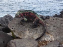 Espanola Isl. Galápagos marine iguana (Amblyrhynchus cristatus venustissimus) (22)