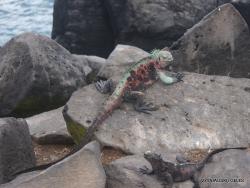 Espanola Isl. Galápagos marine iguana (Amblyrhynchus cristatus venustissimus) (23)