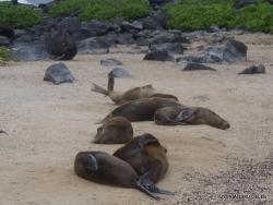 Espanola Isl. Galápagos sea lion (Zalophus wollebaeki) (3)