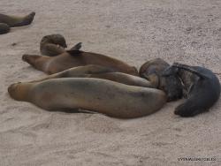 Espanola Isl. Galápagos sea lion (Zalophus wollebaeki) (4)