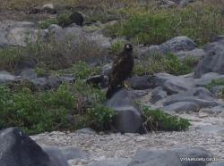 Espanola Isl. Galapagos hawk (Buteo galapagoensis)