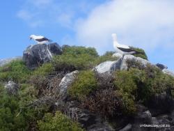 Espanola Isl. Nazca booby (Sula granti) (10)
