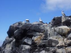 Espanola Isl. Nazca booby (Sula granti) (9)