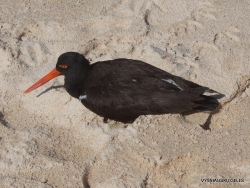 Santa Cruz Is. Playa las Bachas. American oystercatcher (Haematopus palliatus) (2)
