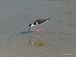 Santa Cruz Is. Playa las Bachas. Black-necked stilt (Himantopus mexicanus)