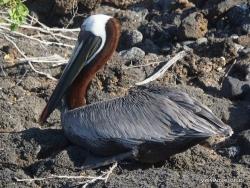 Santa Cruz Is. Playa las Bachas. Brown pelican (Pelecanus occidentalis urinator) (3)