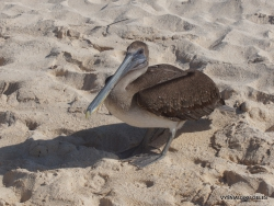 Santa Cruz Is. Playa las Bachas. Brown pelican (Pelecanus occidentalis urinator) (8)