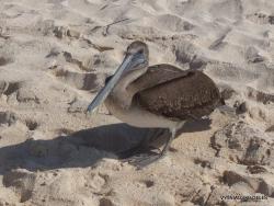 Santa Cruz Is. Playa las Bachas. Brown pelican (Pelecanus occidentalis urinator) (8)