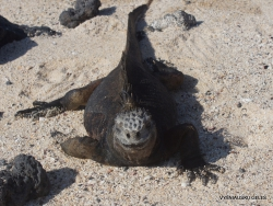 Santa Cruz Is. Playa las Bachas. Galápagos marine iguana (Amblyrhynchus cristatus hassi)