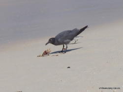 Santa Cruz Is. Playa las Bachas. Lava gull (Leucophaeus fuliginosus)