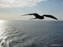 Santa Cruz Is. Playa las Bachas. Magnificent frigatebird (Fregata magnificens) (6)
