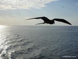 Santa Cruz Is. Playa las Bachas. Magnificent frigatebird (Fregata magnificens) (6)