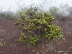 Floreana Isl. Cormorant Point. Cut leaf daisy (Lecocarpus pinnatifidus) (2)