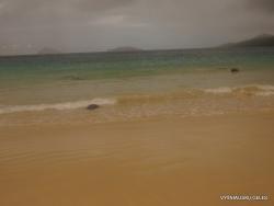 Floreana Isl. Cormorant Point. Galápagos green turtle (Chelonia mydas agassizii) (2)