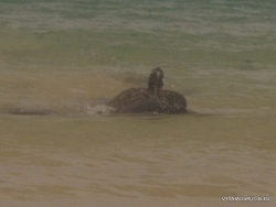 Floreana Isl. Cormorant Point. Galápagos green turtle (Chelonia mydas agassizii) (4)