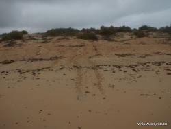 Floreana Isl. Cormorant Point. Nests of Galápagos green turtle (Chelonia mydas agassizii) (2)