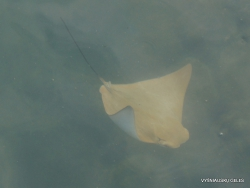 Santa Cruz Isl. Puerto Ayora. Common eagle ray (Myliobatis aquila) (3)