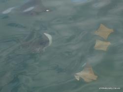 Santa Cruz Isl. Puerto Ayora. Common eagle ray (Myliobatis aquila)