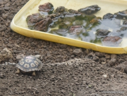 Santa Cruz Isl. The Charles Darwin Research Station. Babys of Galápagos giant tortoise (Chelonoidis sp.) (2)