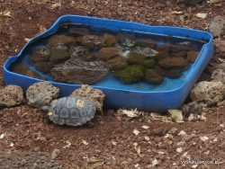 Santa Cruz Isl. The Charles Darwin Research Station. Babys of Galápagos giant tortoise (Chelonoidis sp.) (3)