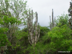 Santa Cruz Isl. The Charles Darwin Research Station. Candelabra cactus (Jasminocereus thouarsii) (2)