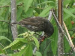 Santa Cruz Isl. The Charles Darwin Research Station. Darwin's tree finch (Camarhynchus sp.) (5)