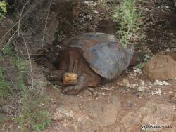 Santa Cruz Isl. The Charles Darwin Research Station. Española Island Galápagos tortoise (Chelonoidis hoodensis) (2)
