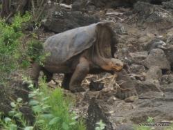 Santa Cruz Isl. The Charles Darwin Research Station. Floreana Island Galápagos tortoise (Chelonoidis nigra)