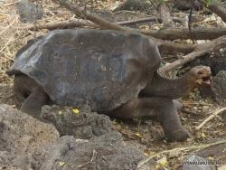 Santa Cruz Isl. The Charles Darwin Research Station. Galápagos giant tortoise (Chelonoidis sp.) (13)