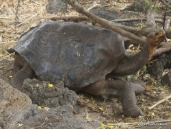 Santa Cruz Isl. The Charles Darwin Research Station. Galápagos giant tortoise (Chelonoidis sp.) (15)