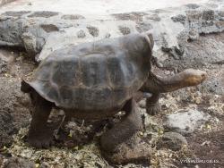 Santa Cruz Isl. The Charles Darwin Research Station. Galápagos giant tortoise (Chelonoidis sp.) (17)