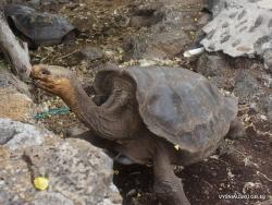 Santa Cruz Isl. The Charles Darwin Research Station. Galápagos giant tortoise (Chelonoidis sp.) (19)