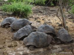 Santa Cruz Isl. The Charles Darwin Research Station. Galápagos giant tortoise (Chelonoidis sp.) (2)
