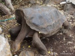 Santa Cruz Isl. The Charles Darwin Research Station. Galápagos giant tortoise (Chelonoidis sp.) (20)