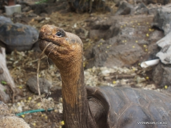 Santa Cruz Isl. The Charles Darwin Research Station. Galápagos giant tortoise (Chelonoidis sp.) (21)