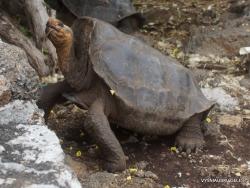 Santa Cruz Isl. The Charles Darwin Research Station. Galápagos giant tortoise (Chelonoidis sp.) (23)