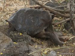 Santa Cruz Isl. The Charles Darwin Research Station. Galápagos giant tortoise (Chelonoidis sp.) (4)