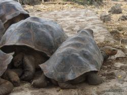Santa Cruz Isl. The Charles Darwin Research Station. Galápagos giant tortoise (Chelonoidis sp.) (7)