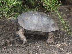 Santa Cruz Isl. The Charles Darwin Research Station. Galápagos giant tortoise (Chelonoidis sp.) (9)