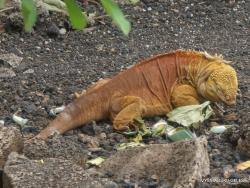 Santa Cruz Isl. The Charles Darwin Research Station. Galapagos land iguana (Conolophus subcristatus)