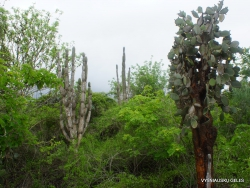 Santa Cruz Isl. The Charles Darwin Research Station. Jasminocereus thouarsii and Opuntia echios var. gigantea