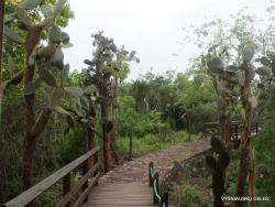 Santa Cruz Isl. The Charles Darwin Research Station. Opuntia echios var. gigantea (2)